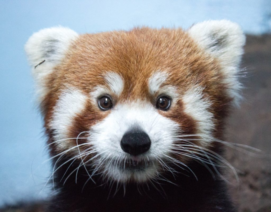 close up of a red pandas face